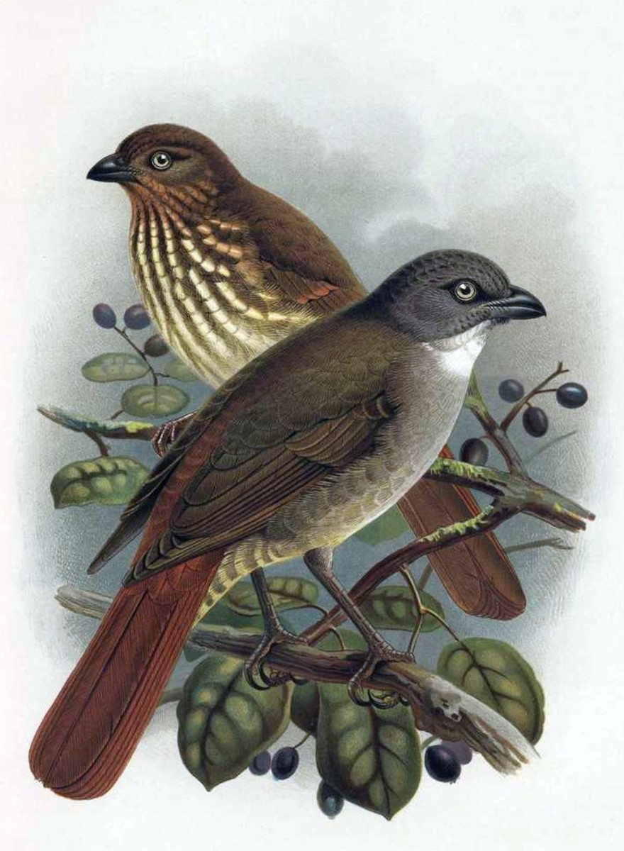 North Island Piopo