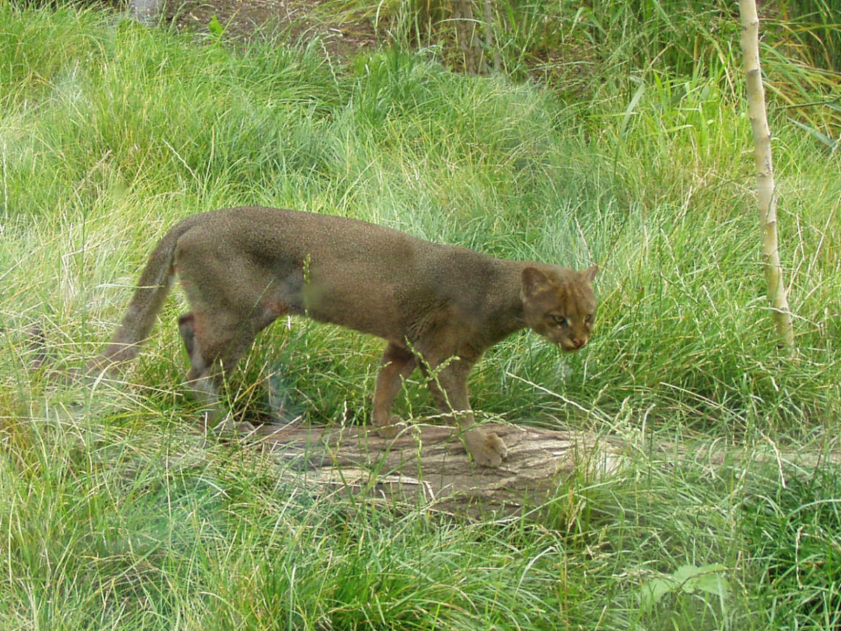 Jaguarundi on the Prowl