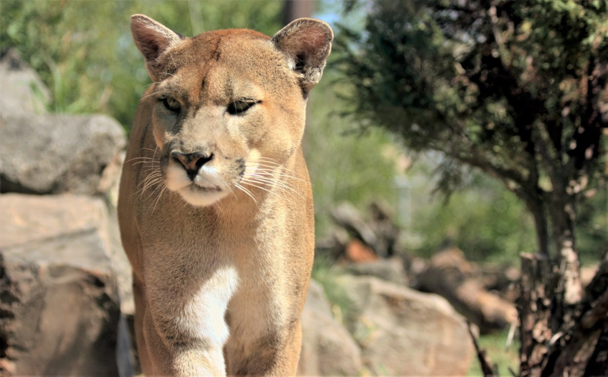 Cougars are known by many names, such as mountain lion, puma, and panther.