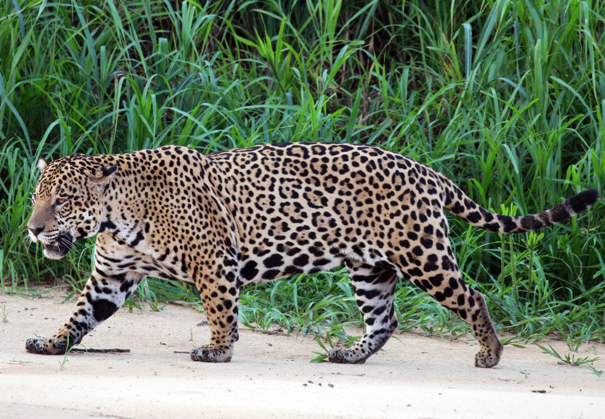 Jaguar Spotted at the Three Brothers River in Brazil