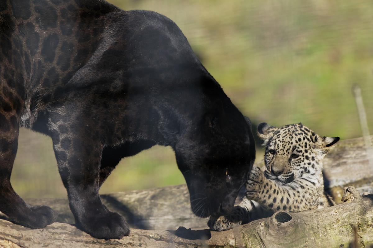Baby Jaguar at the Salzburg Zoo (2009)