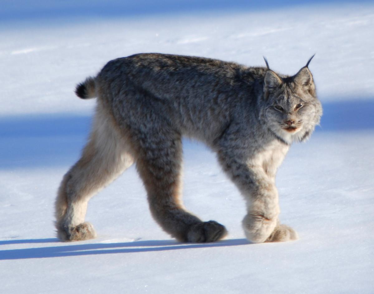 Canada Lynx Near Whitehorse, Yukon