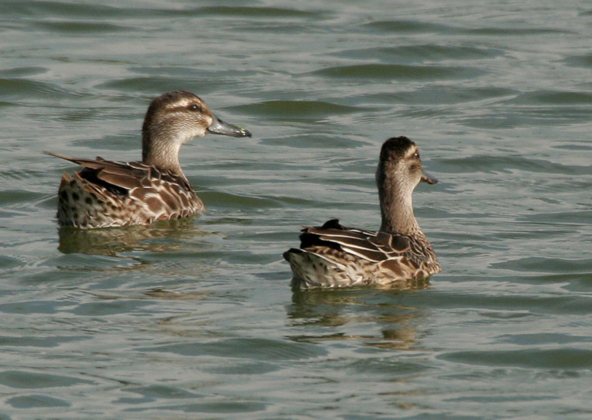 The duck has a less prominent eye stripe and greyer plumage than the male.