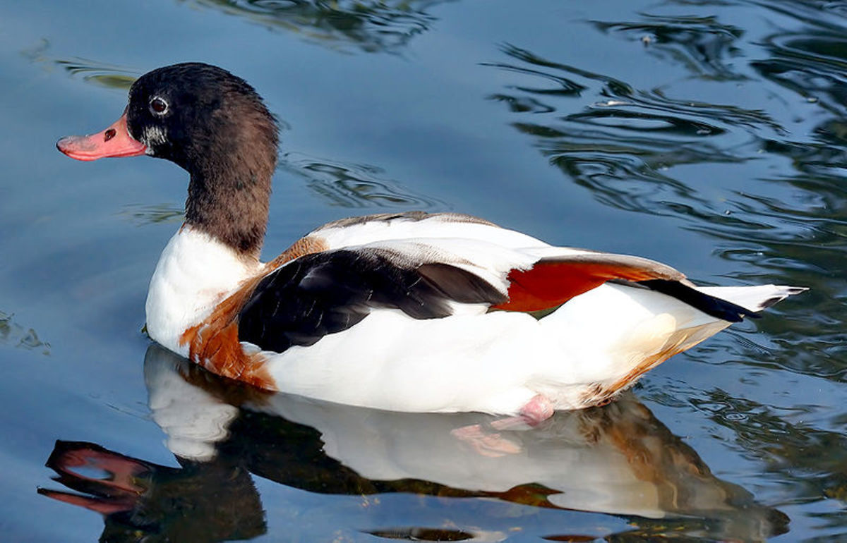 The adult female has a much duller plumage and lacks the distinctive knob possessed by the males.