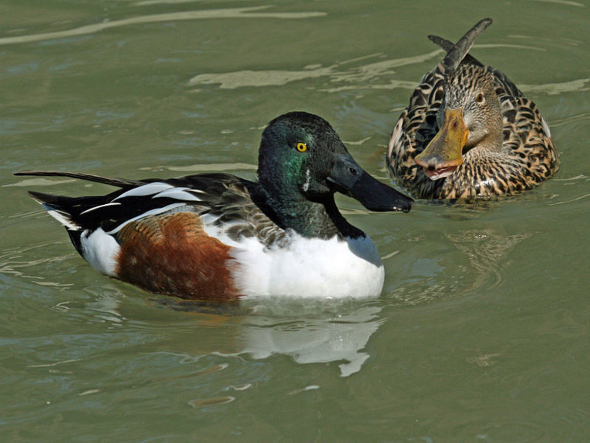 The drake (left) has a glossy green head, like that of a mallard, but the breast is white and the belly is chestnut. The duck (right) has a brown head and body with speckled underparts. The huge shovel bill is unmistakable in both sexes.