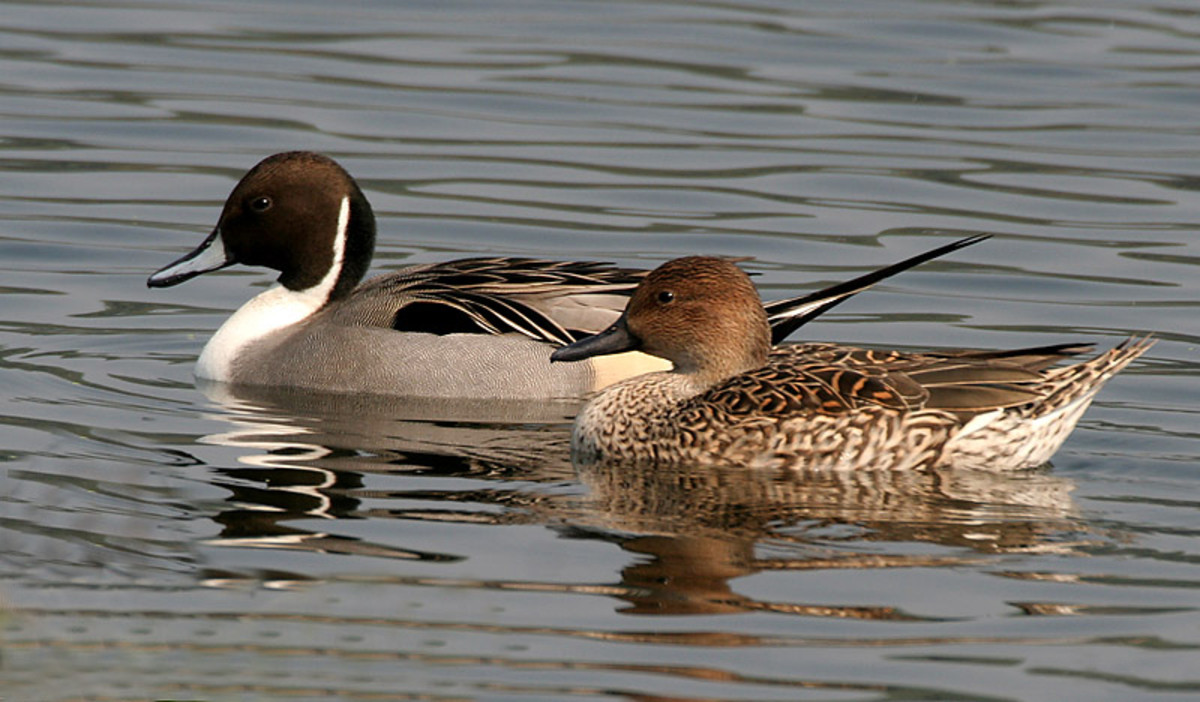 The drake (left) has a chocolate and white head pattern and a long pointed tail, while the female (right) is pale brown and like the male is slim and rakish in build.