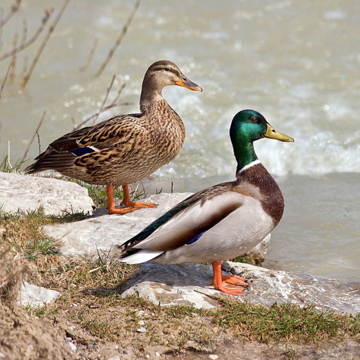 The drake (below) has a glossy green head, white collar, maroon breast and curly black tail feathers. The duck (above) has a greenish yellow bill and a violet blue wing patch.