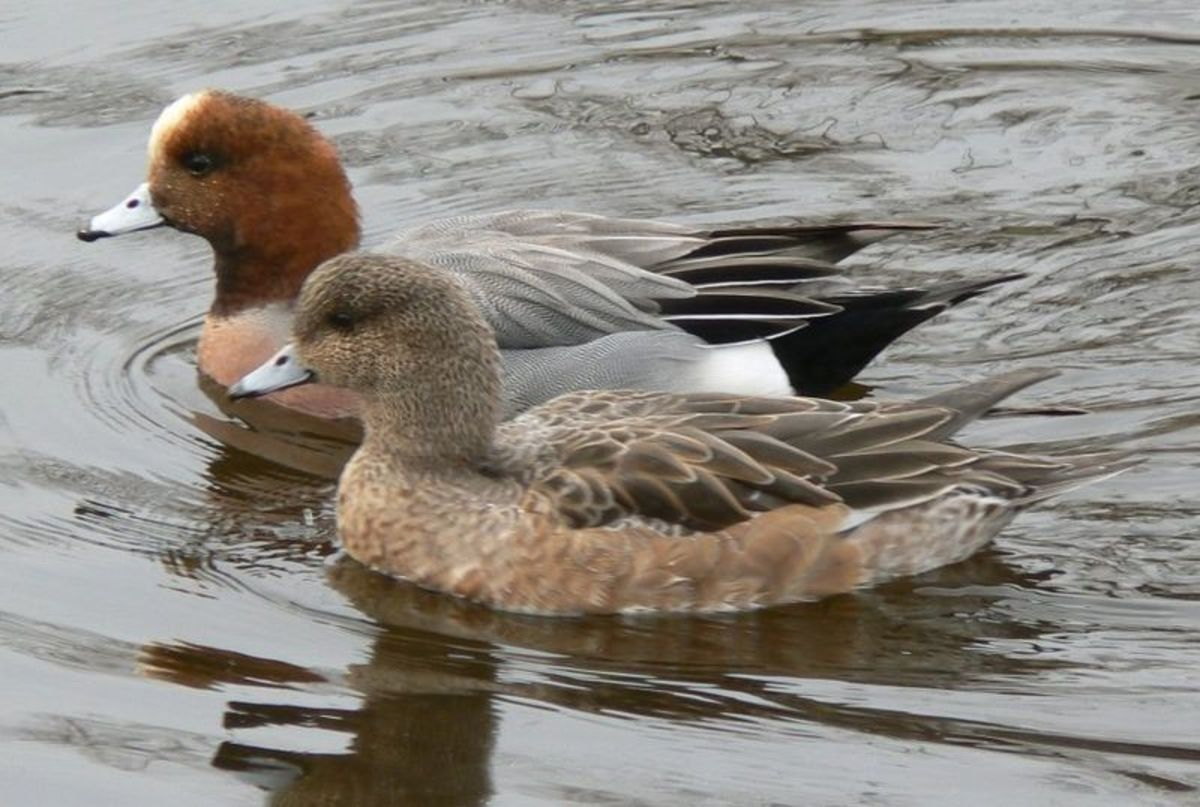 The adult male (above) has a chestnut head and pale crown, while the female (below) is more uniformly brown than other female ducks with a small bill and high forehead.