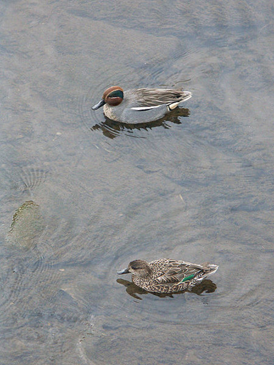 The drake (above) has a chestnut head with a green eye patch. The duck's (below) only distinguishing feature is her black and green wing patch.