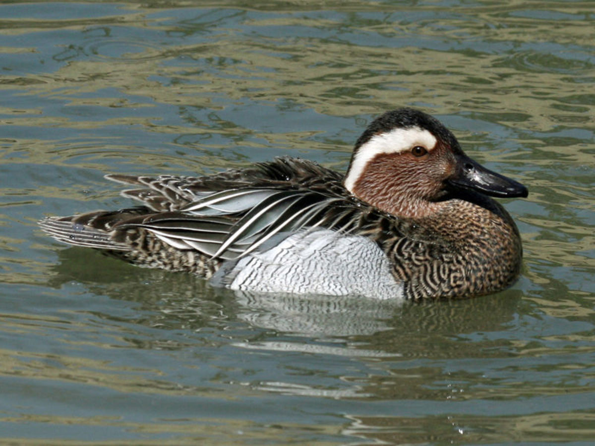The drake has a distinctive pale eye stripe on a mottled brown head.