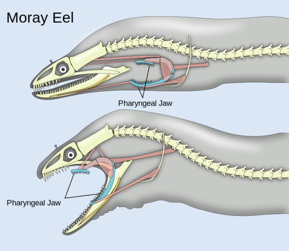 Action of the pharyngeal jaws