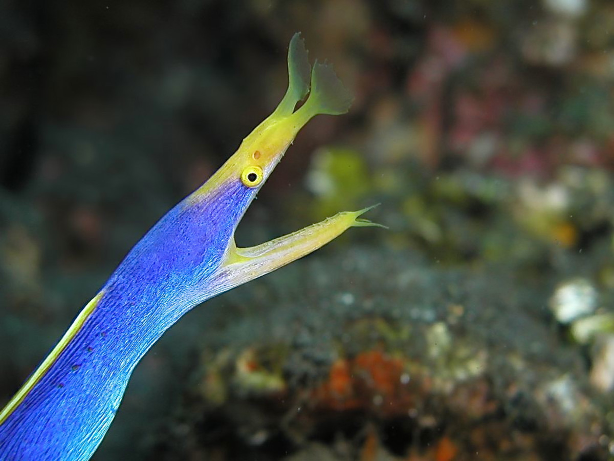 Ribbon eels are a type of moray eel.