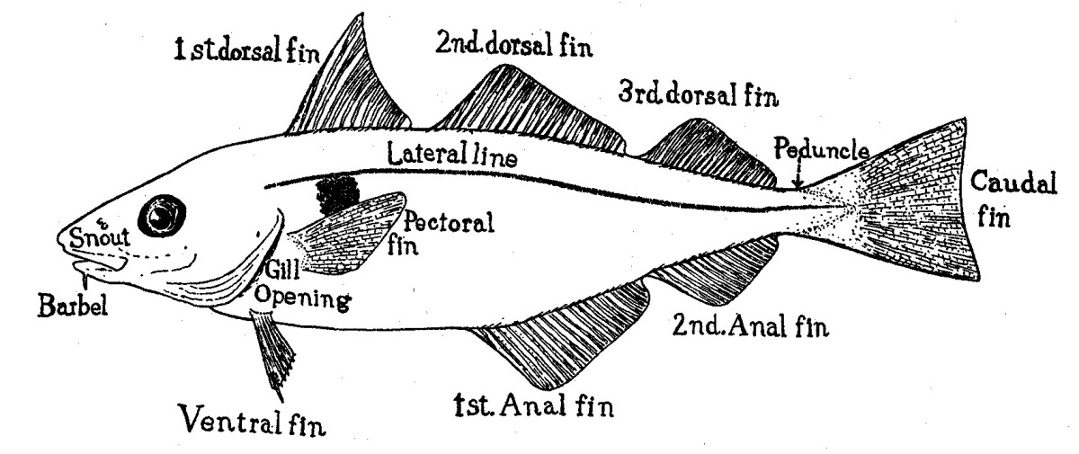 This is a haddock. Not all fish have as many as three dorsal fins and two anal fins. In some fish, the ventral fin is located further back on the body so that it's behind the pectoral fin. The fin is then known as a pelvic fin.