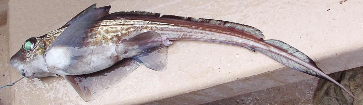 A dead rabbitfish, or Chimaera monstrosa