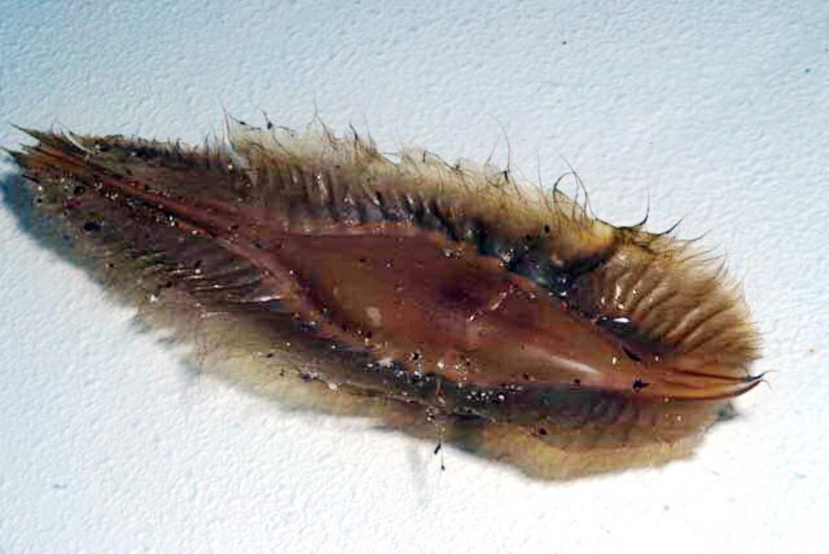 An elephant fish egg capsule