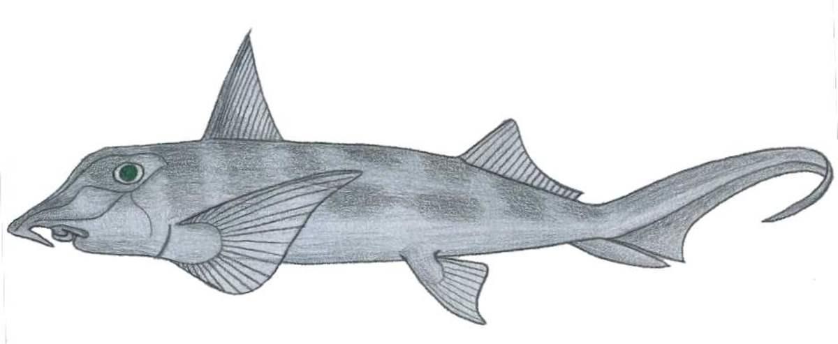 An elephant fish (Callorhinchus callorhinchus)