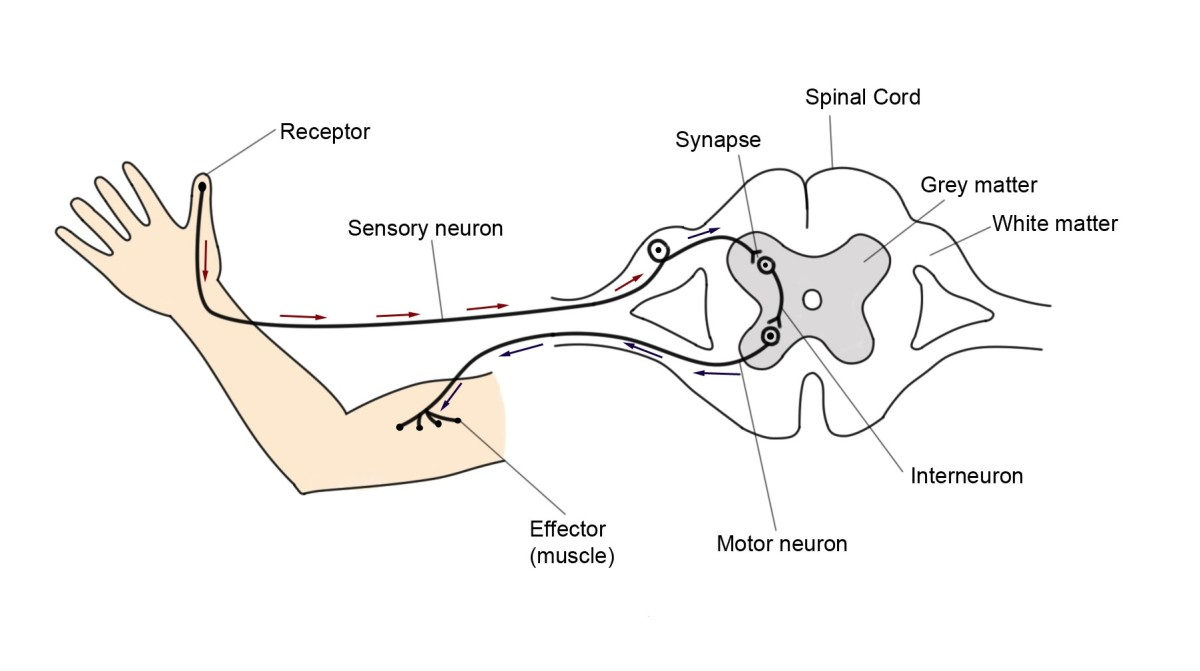 Diagram to illustrate a reflex arc