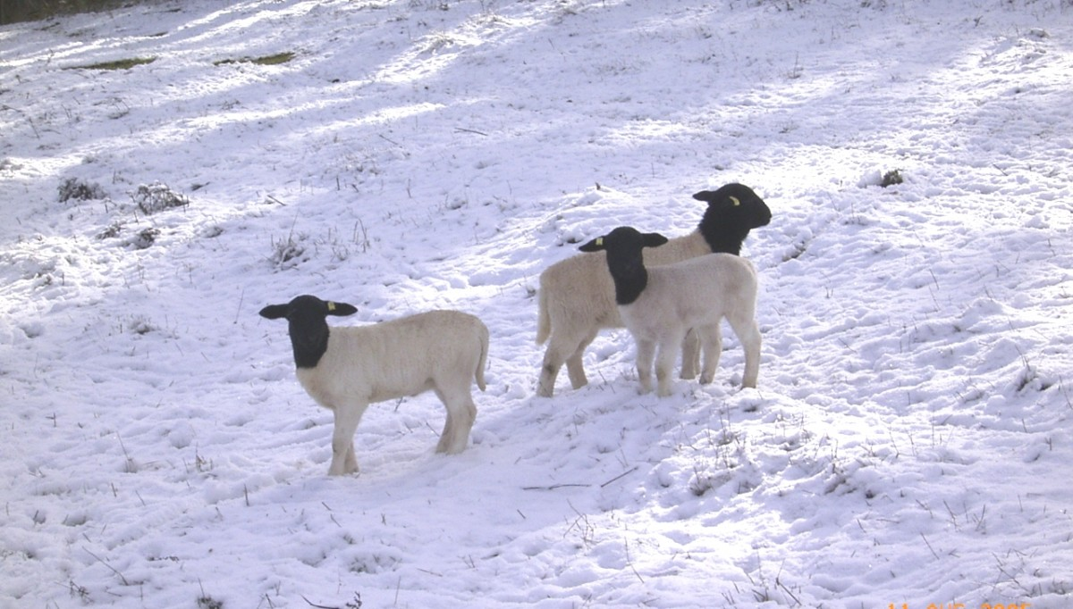 Dorper lambs having fun in the winter snow.