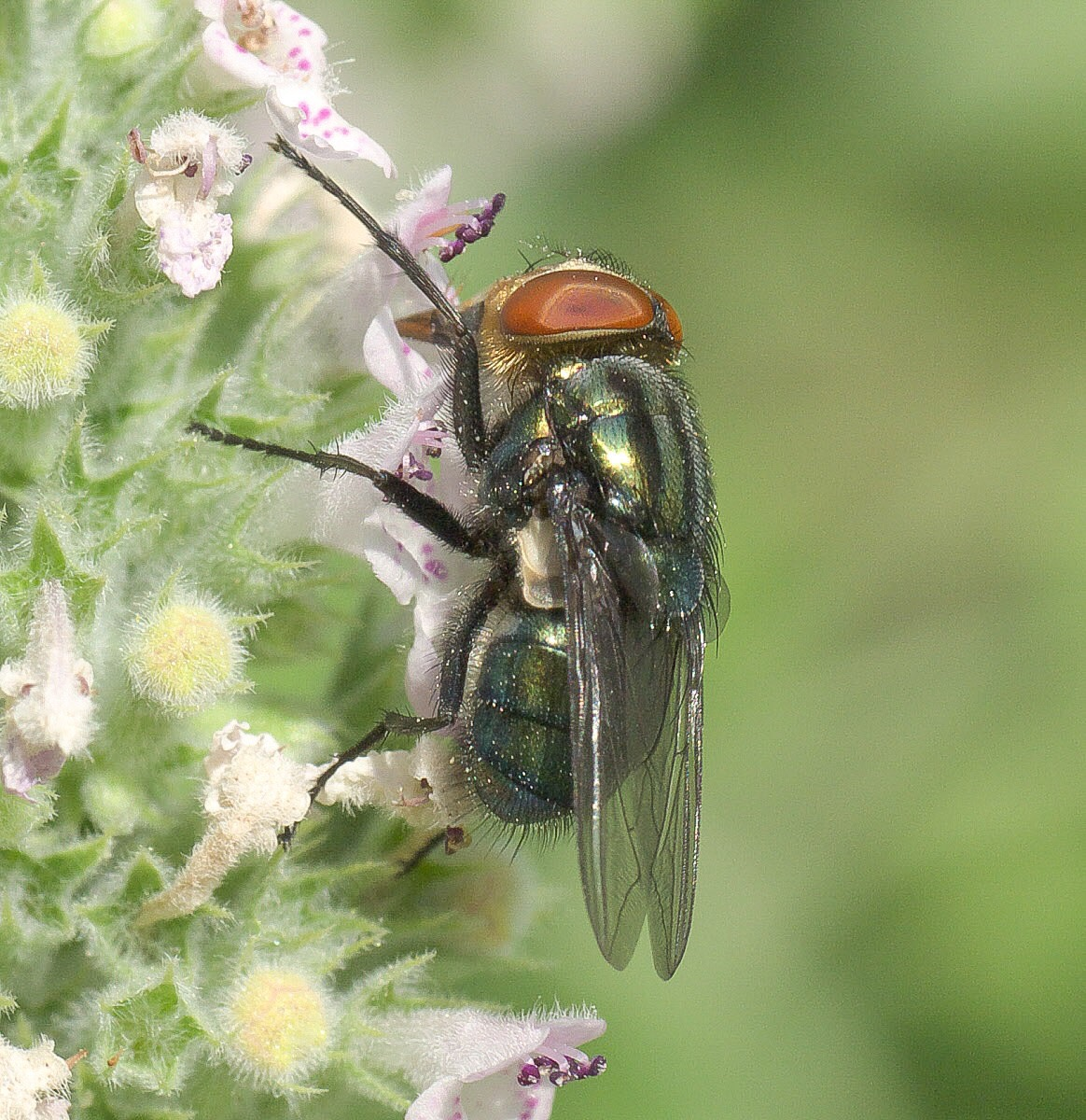 A secondary screwworm fly on a catnip plant