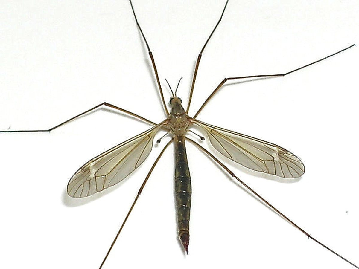 This photo of a crane fly shows the head, thorax and abdomen and the halteres behind the wings. A crane fly has similar body parts to a blow fly but is more slender.