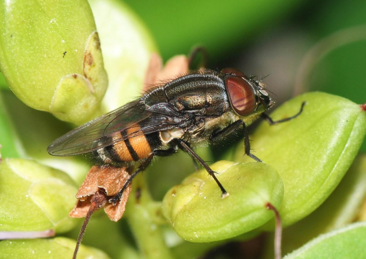 A male Stomorhina lunata, a type of blowfly