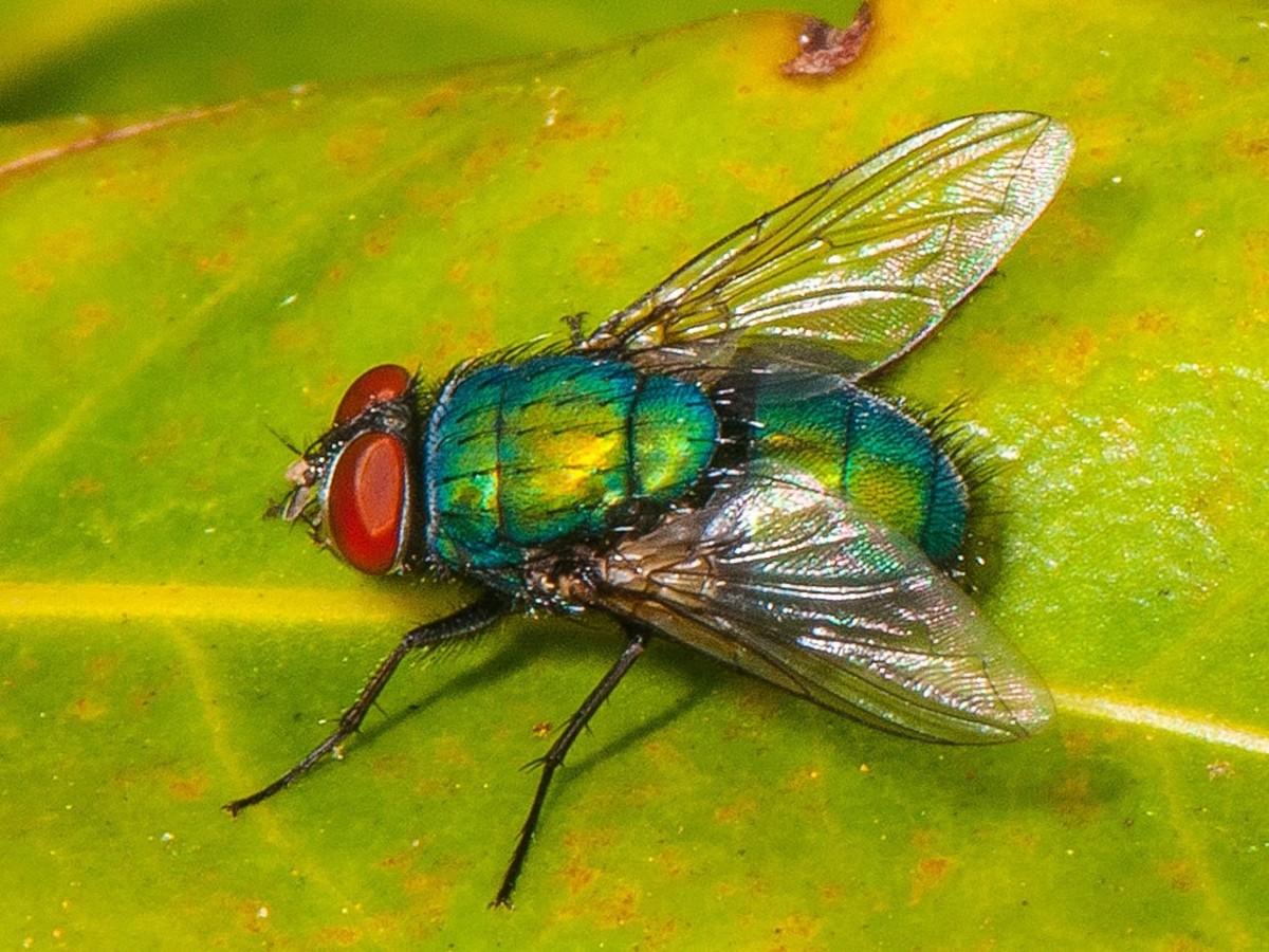 A green bottle fly