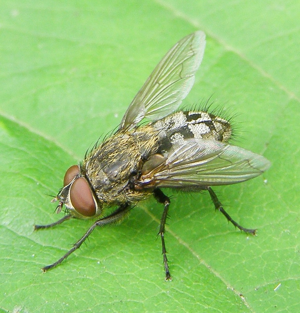 This is a male cluster fly (genus Pollenia). Cluster flies have different behaviour from other blow flies. Adults feed on nectar and spend the winter in buildings. The larvae are parasites of earthworms.