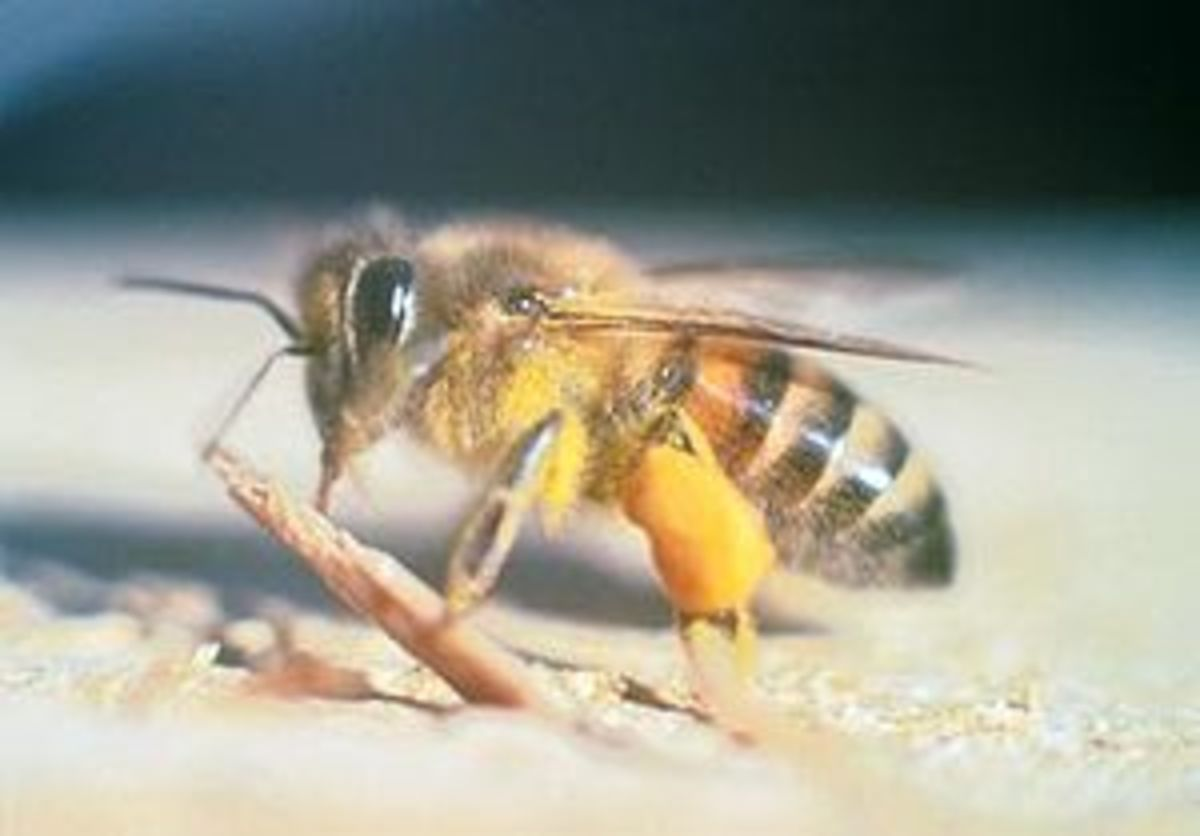 Hormigas de terciopelo | Entomología