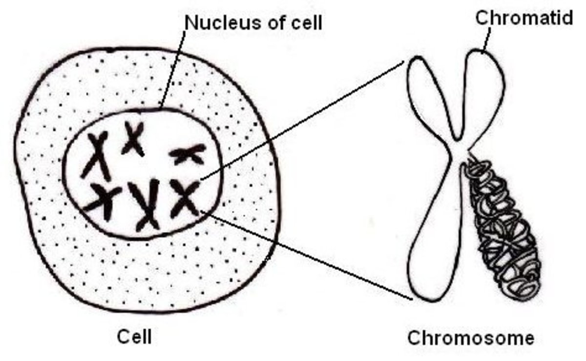 Chromosomes contain the DNA that result in our genetic differences. The 23rd chromosomes contain DNA specific to our genders.
