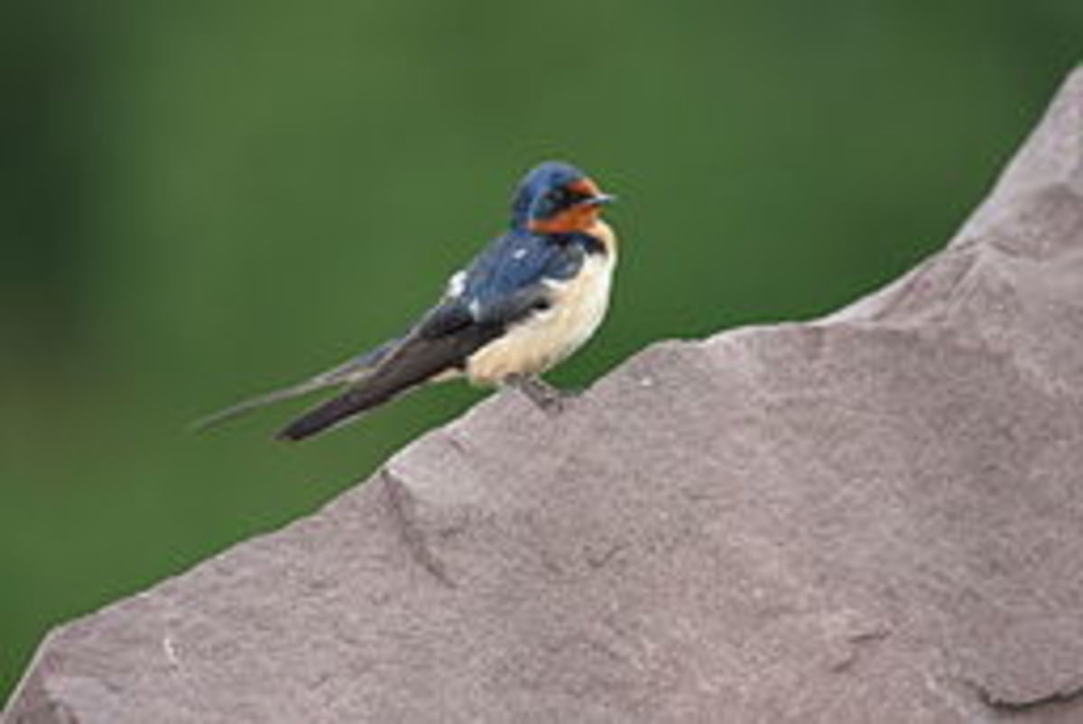 Atrahasis sent out a swallow (pictured), dove, and raven in the Sumerian flood story.