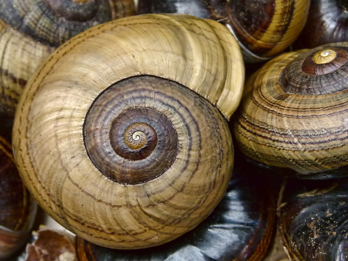 Shells of Powelliphanta hochstetteri bicolor