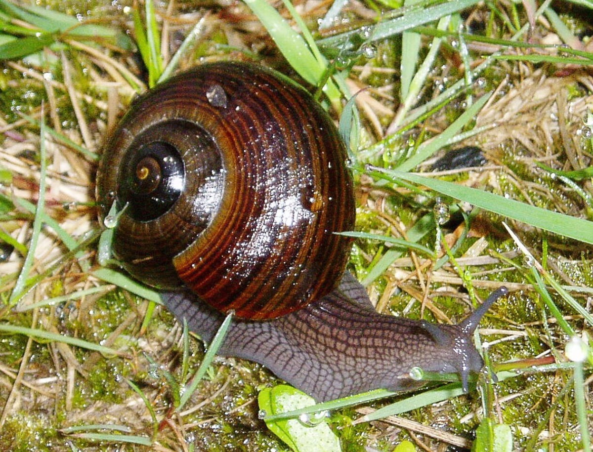 Powelliphanta lignaria johnstoni