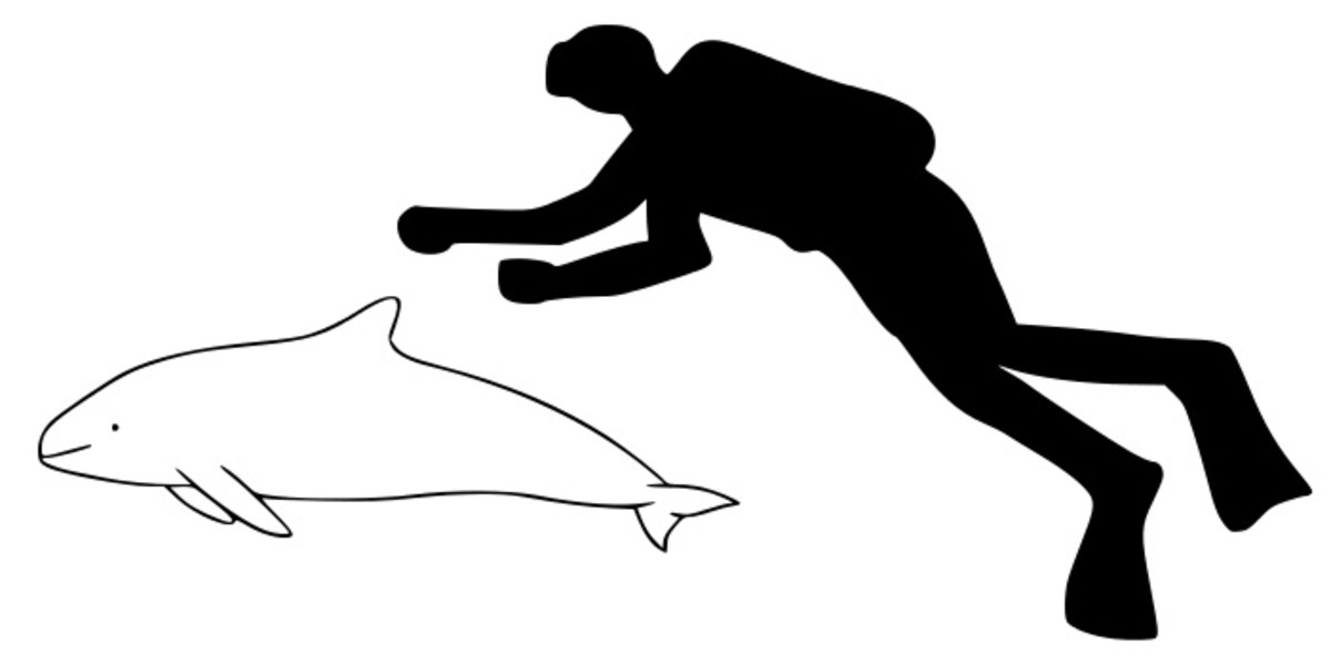 Size comparison between a vaquita and a human
