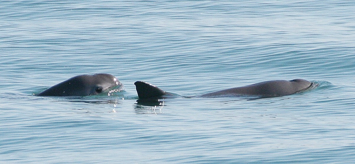 Two vaquitas; the dark ring around the eye can be seen on the animal on the left