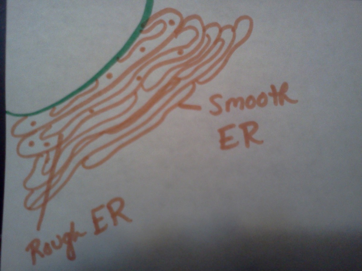 The Smooth and Rough ER are attached to the nucleus.