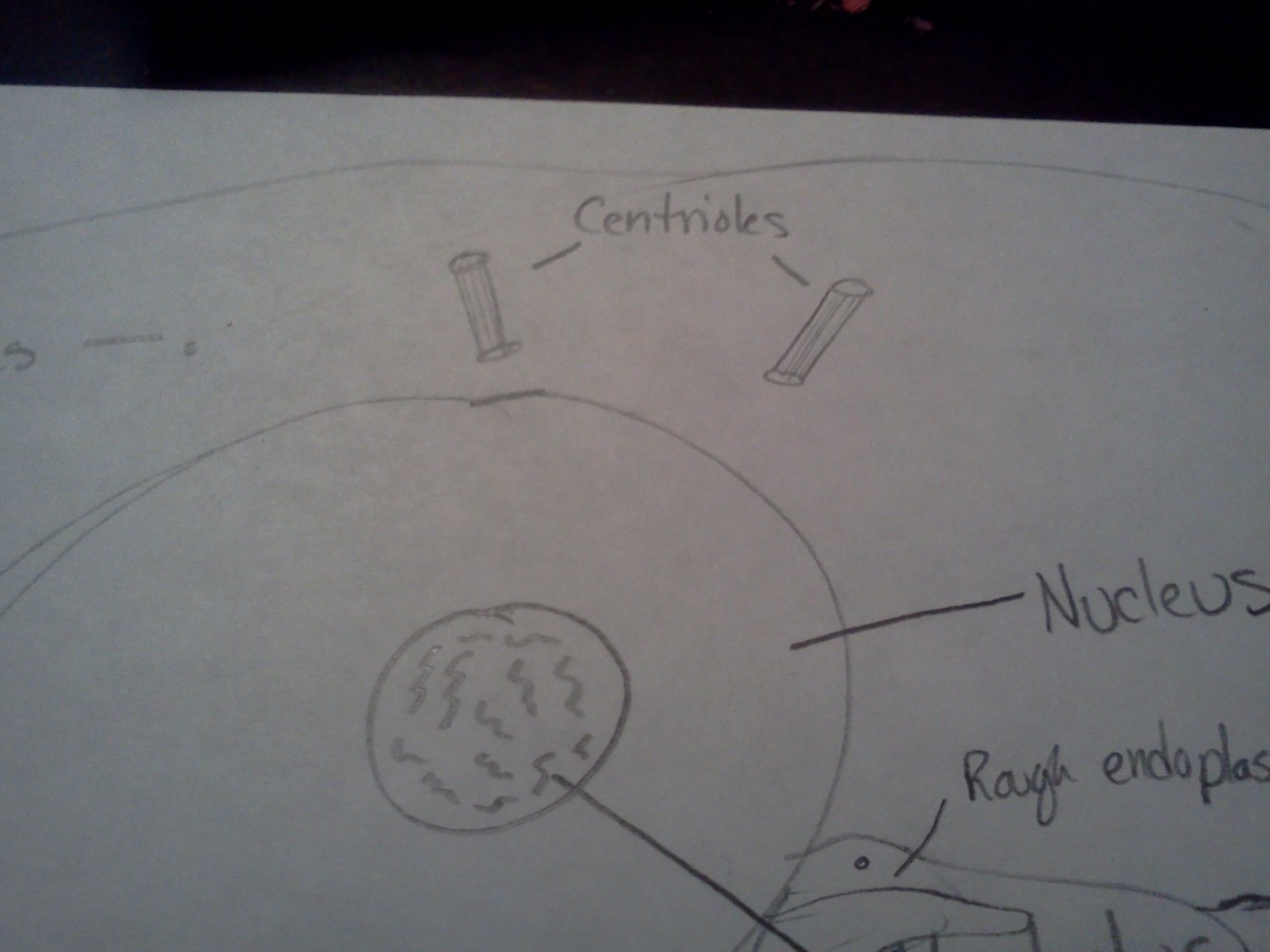 Draw your centrioles in pairs and near the nucleus.