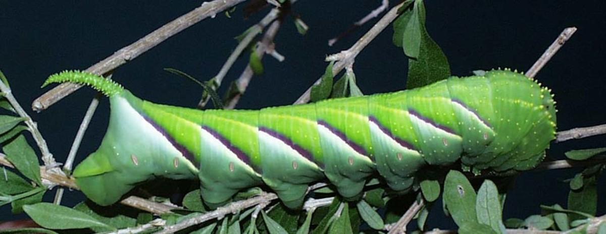 Sphinx rustica caterpillar
