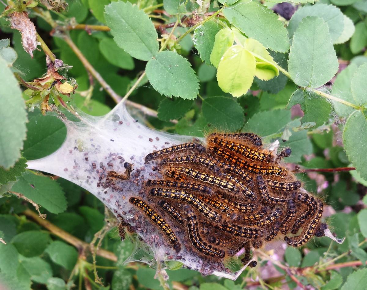 Western Tent Caterpillar Larvae