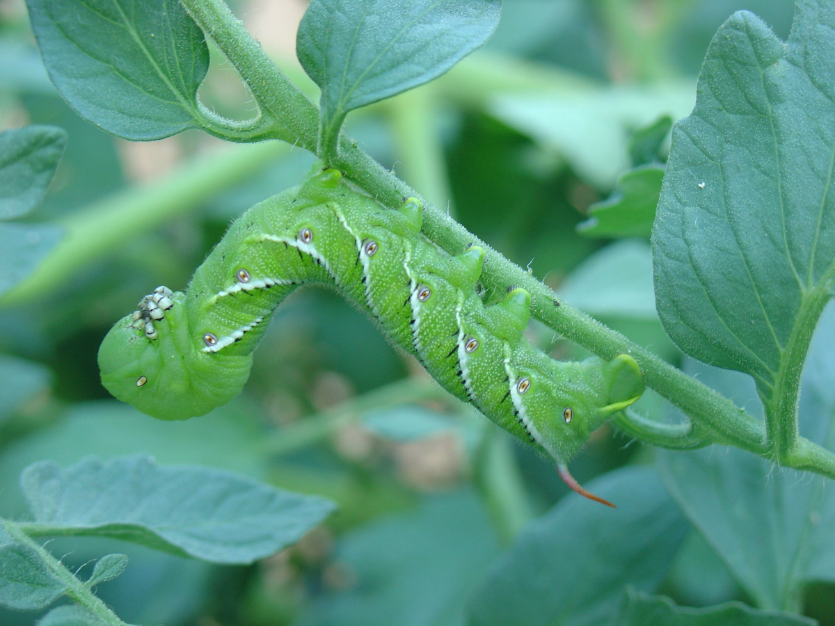 Tobacco Hornworm (note the red horn and the black-banded stripes)