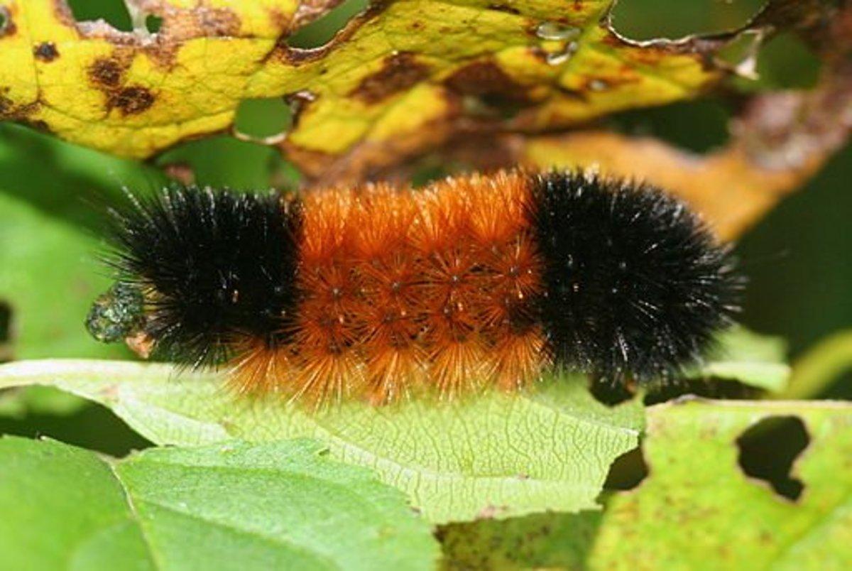 North American Caterpillar Identification