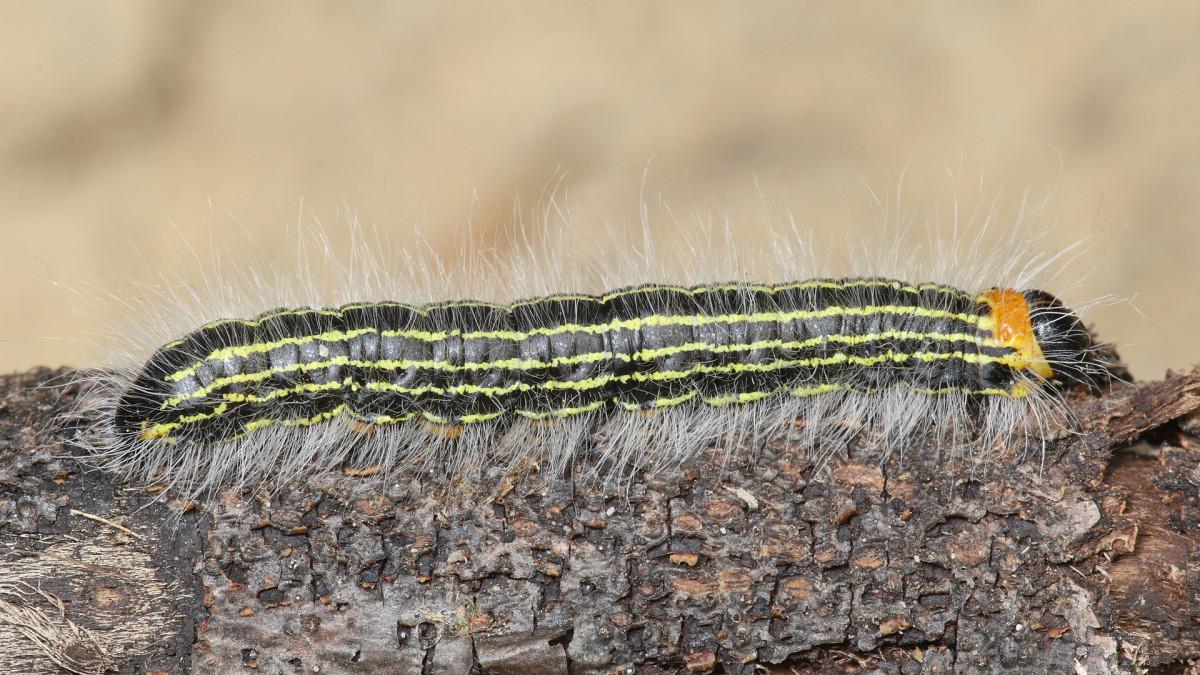 Contracted Datana Caterpillar