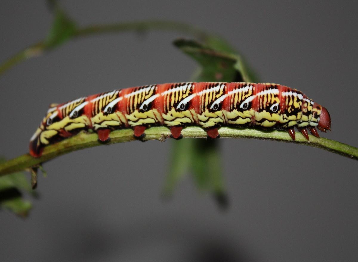 Banded Sphinx Larva
