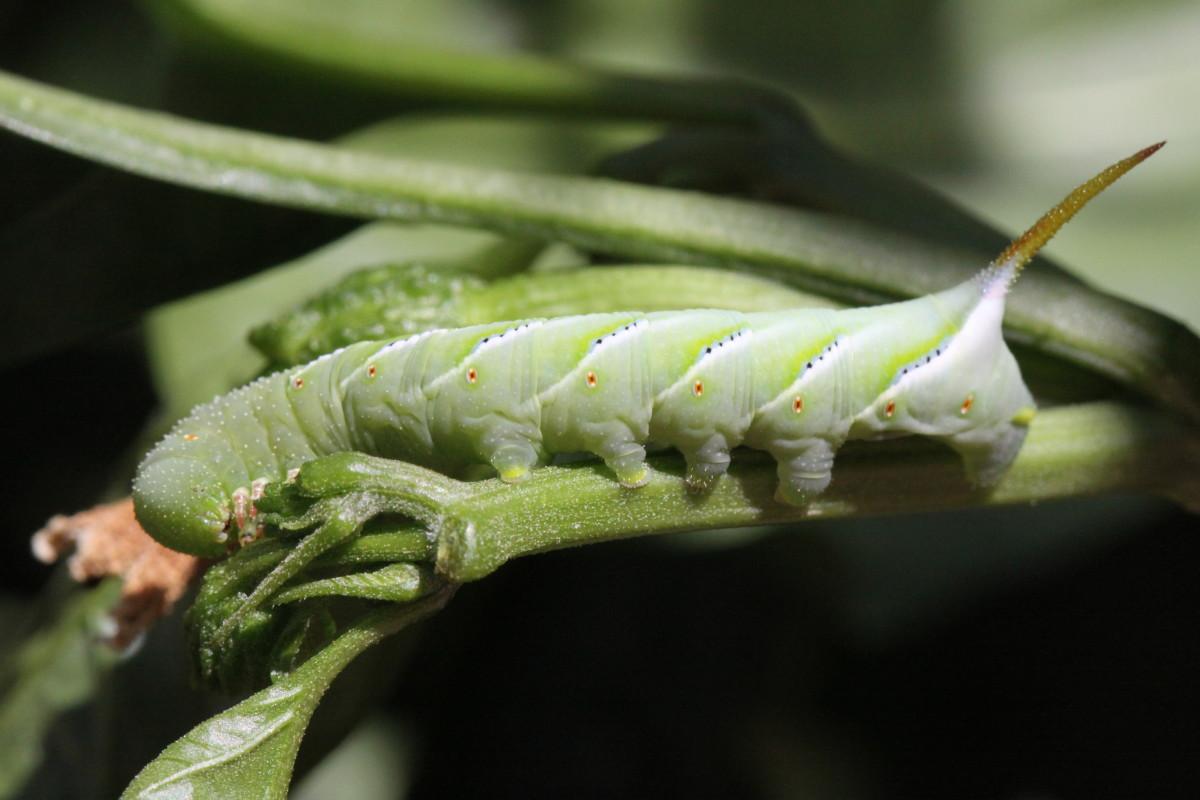 Rustic Sphinx Larva