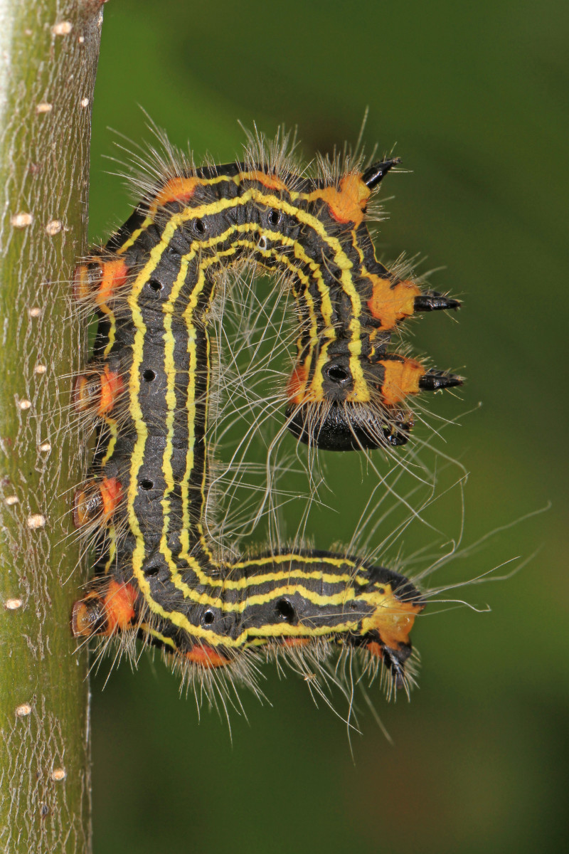 Yellownecked Caterpillar Larva