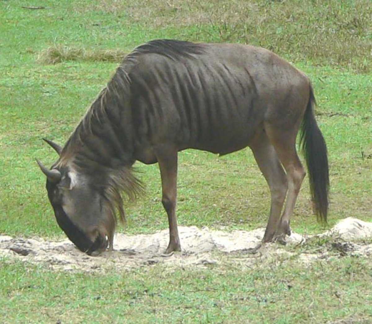 My wildebeest has died and left me. Alas, I gnu him well.