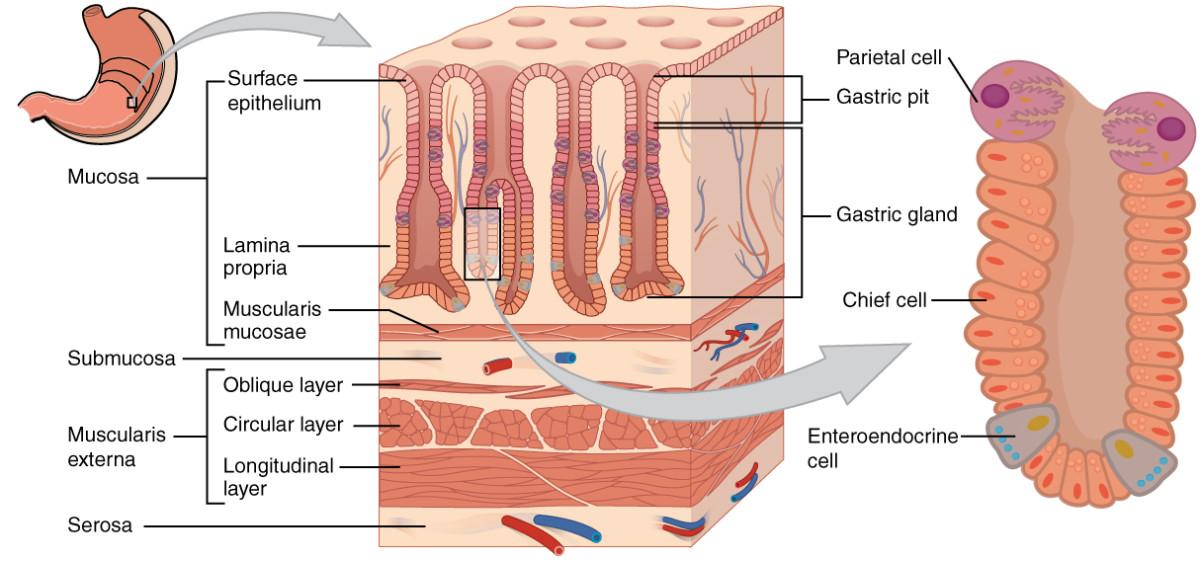 Gastric glands
