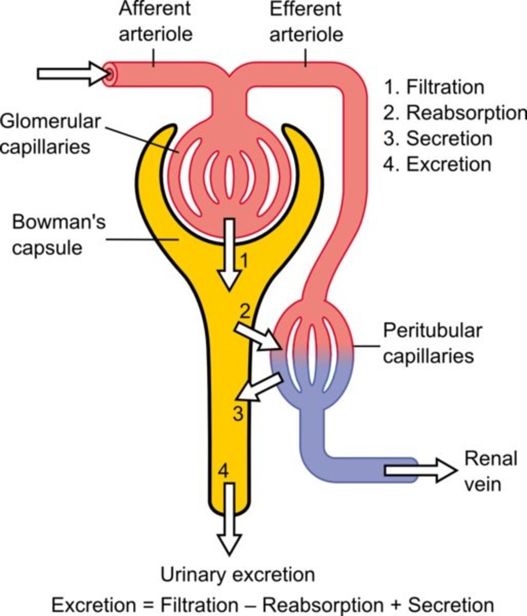 The Urinary System | Physiology of the nephron