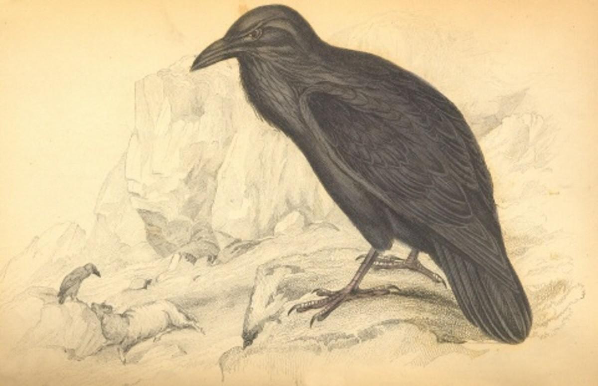 Raven lithograph by British naturalist Sir William Jardine (1800-1874).