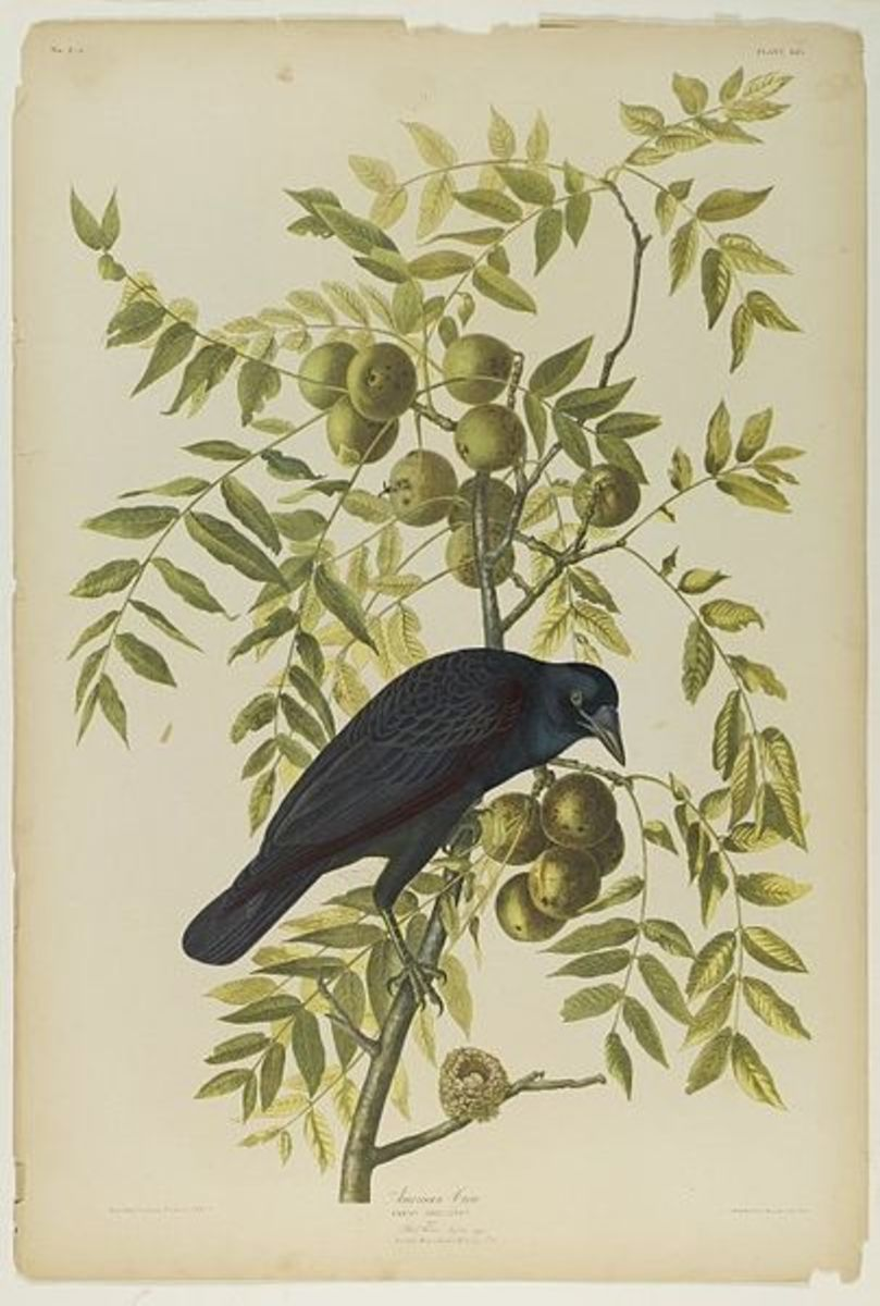 """American Crow"" by John James Audubon and Julius Bien."