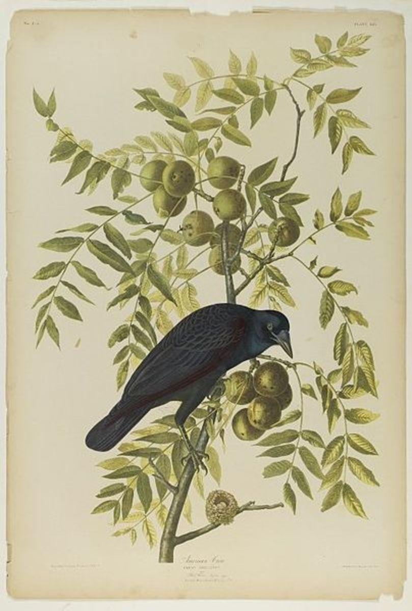 """American Crow"" by John James Audubon and Julius Bien."
